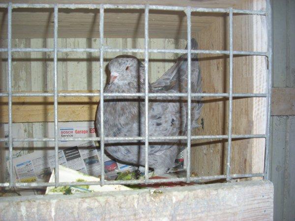 mâle modène magnani néri acheté ce week end au salon international d'aviculture de Saint-Omer