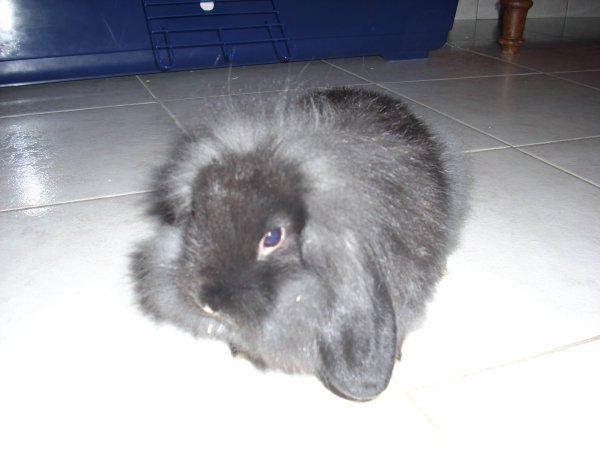 jeune lapin nain bélier tête de lion de 2 mois