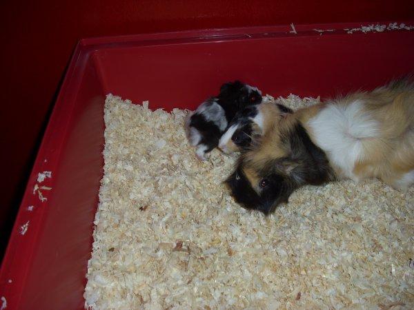 jeunes cochons d'inde nés le 26 décembre 2011