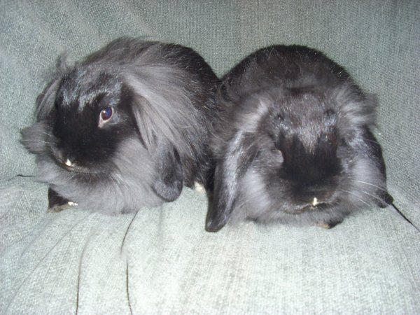 les 2 femelles lapins nains béliers tête de lion nées en aout 2011