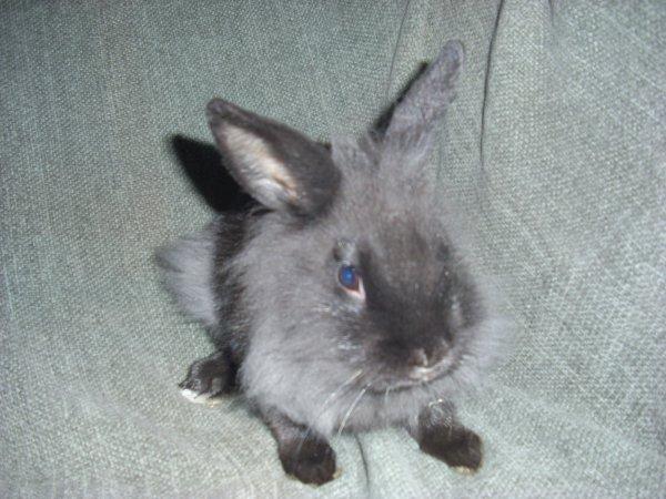 mâle lapin nain tête de lion né le 10 octobre 2011