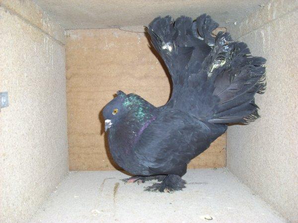 couple de QPI numéro 02 (male noir 2010 K273 X femelle grison 2011 DM731)