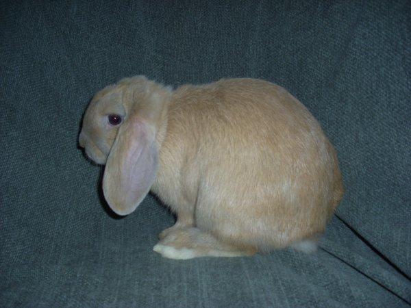 Wallace lapin bélier nain sable né le 25/12/2011