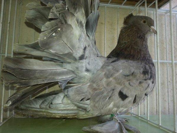 QPI ARLEQUIN 2013 EM 498 mâle