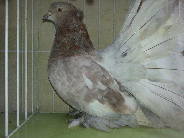 QPI ARLEQUIN 2014 DR 550 mâle