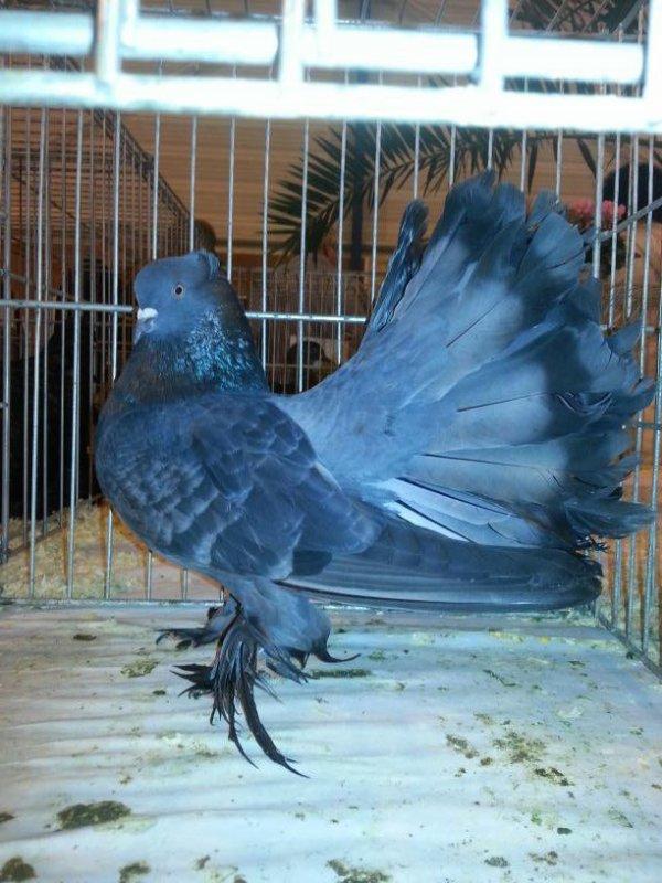 QPI mâle bleu écaillé Tpattern 2014DR520 note 96 GRAND PRIX catégorie pigeon de structure