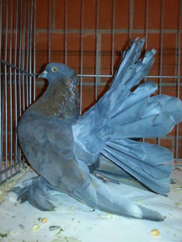 QPI femelle indigo 2013EM505 note 93