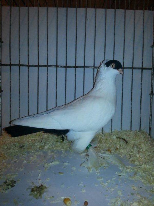 PIGEON A CALOTTE FRANÇAIS femelle noir 2013EM511 note 94