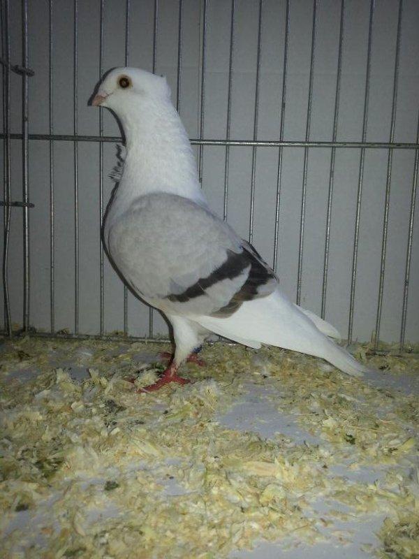 SMERLE DES FLANDRES femelle argenté barré 2012AC466 note 91