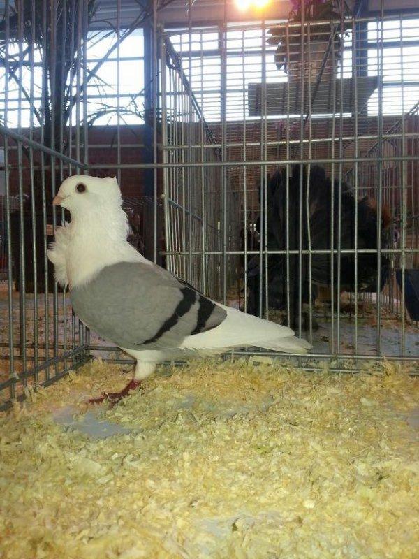 SMERLE DES FLANDRES mâle bleu barré 2013M532 note 96 GRAND PRIX et CHAMPION REGIONAL catégorie pigeons cravatés