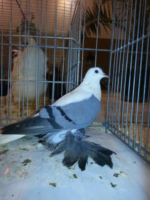 PIGEON DE SAXE à ailles colorées femelle bleu barré 2011DM745 note 96 GRAND PRIX catégorie pigeons de couleur