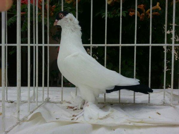 Jeune pigeon à calotte français noir  2015