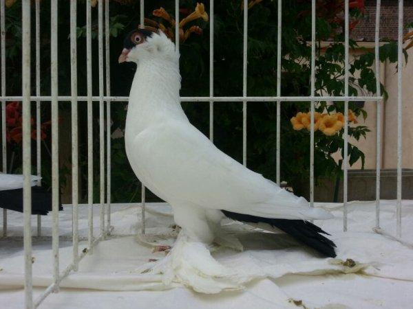 Autre jeune pigeon à calotte français noir 2015