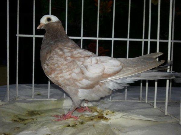 Jeune pigeon de vol catalan 2015