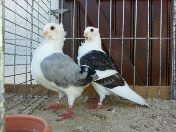 Journée technique de la section Nord du club du pigeon cravaté le samedi 29 Août chez Stéphane MABIC