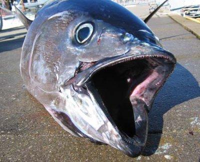 Les gros thons