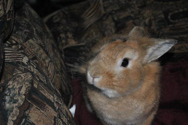 A  la mémoire de mon lapinet d'amour Punky décédé  en 2015