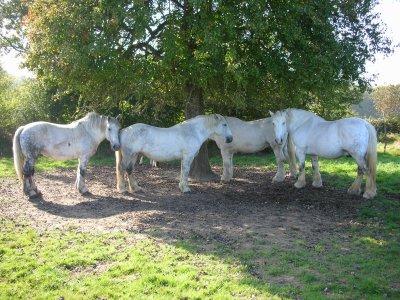 chevaux en repos