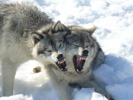 FELINS, LOUPS  ET VAMPIRES , UN POINT COMMUN :  DE SACREES  CANINES !!