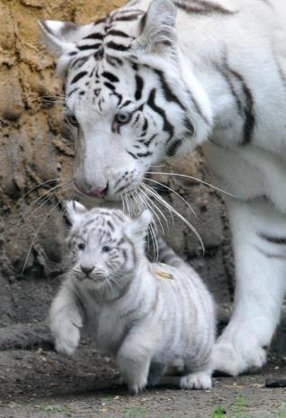 Tigre blanc et son petit