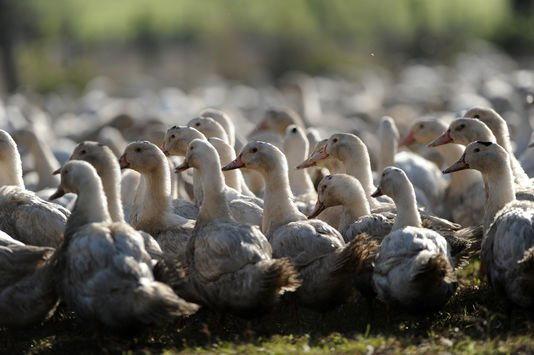 """Spécial """"Grippe aviaire : tous les canards des Landes vont être abattus..."""" - Image n° 1/2 !..."""