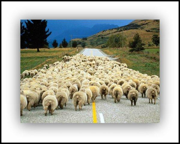 """Spécial """"Les moutons de Panurge, """"EN MARCHE""""..."""" - Image n° 1/3 !..."""