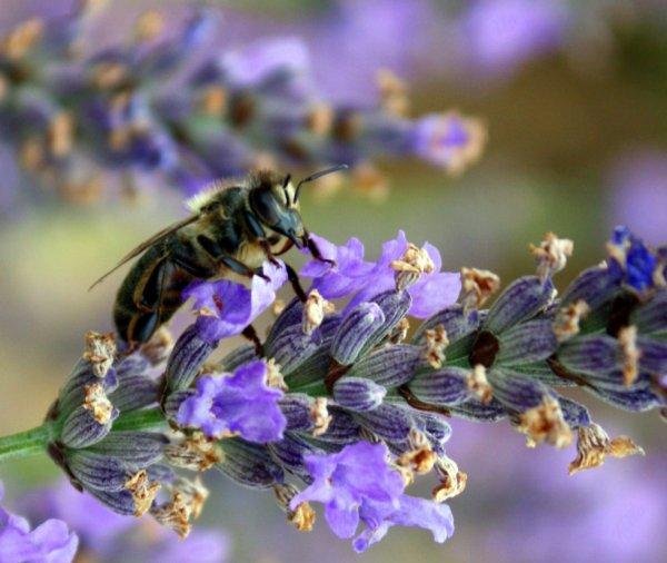 580 Butineuse (dame abeille je pense)