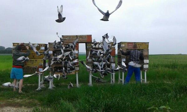 Lâché  peronne  476 pigeons a10h50 la on part sur cambrai  pour lâché  116 jeune