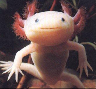 Axolotl / Ambystoma mexicanum