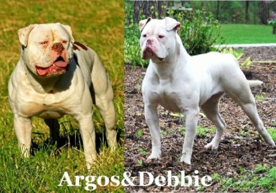 Chiots Bouledogue Americain Bully Red Nose Réservation Tel Tel