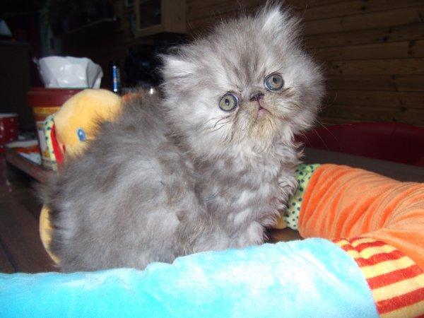 voici mes petit amour loky persan long poils  ,lanceloy persan exo et lylou petite femelle exo il son tout plient d amour a réserver