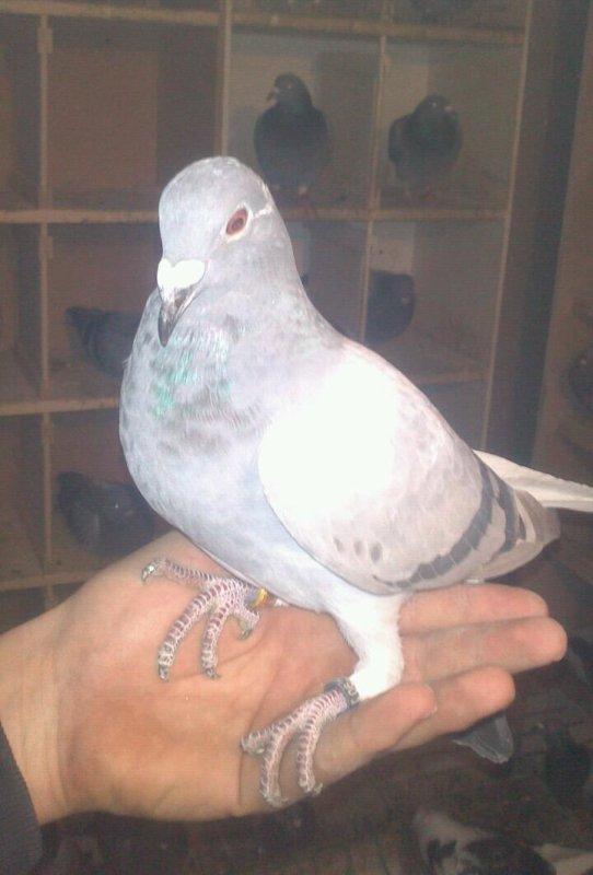 Lien entre nos pigeon