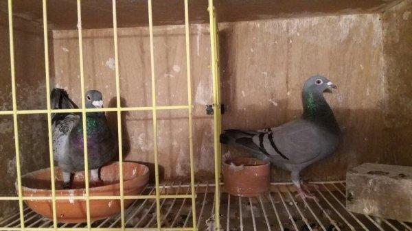 Tout les pigeons sont adduis 32/32