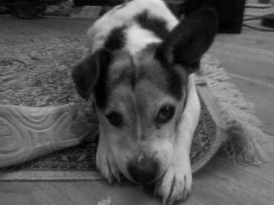 caruso, né en 1997, 2 mois du refuge : souffle au coeur. ( famille d'acueil )