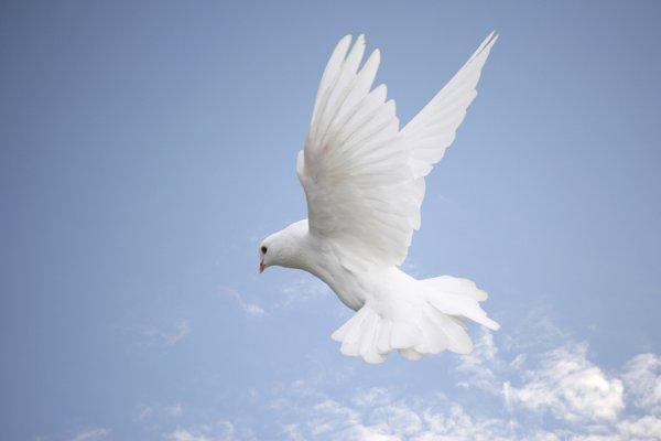 Pigeon voyageur