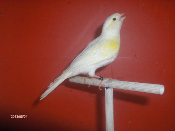 vrouwtjes geel mozaïek in molt