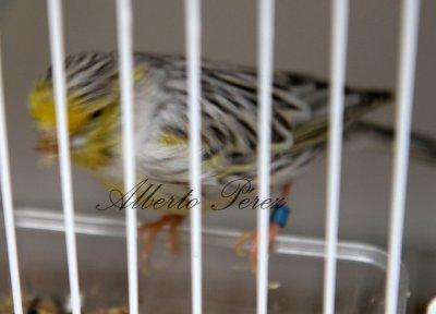 Topacio Amarillo Mosaico Reproductor 2011