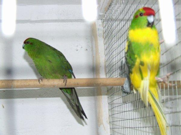 kakariki panaché male et femelle verte