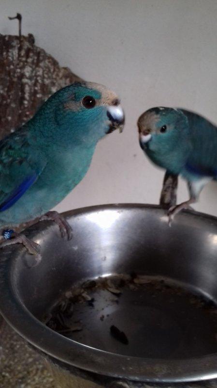 kakariki turquoise panaché