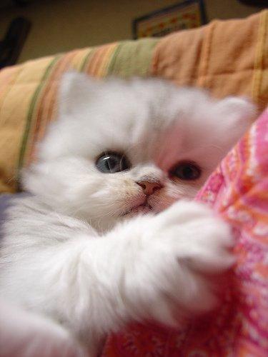 Mon Petit Chaton