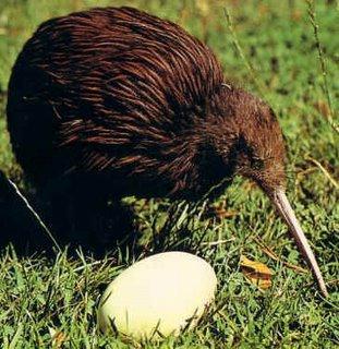 le kiwi, un oiseau étrange