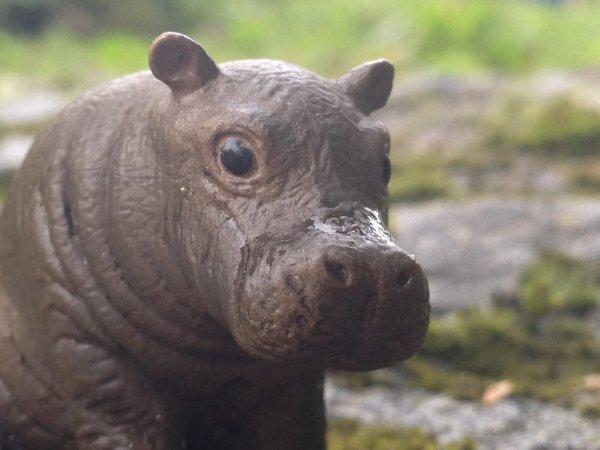 Un hippopotame dans la Morge!