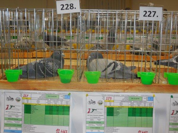 Quelques pigeons standard