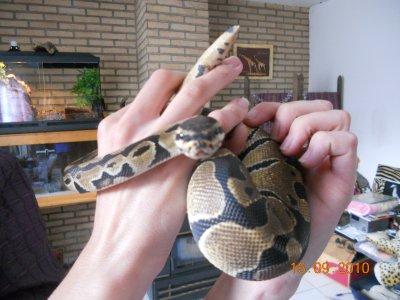 Un superbe Python Royal que je viens d'acheter à Alex