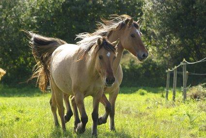 Les chevaux sont ceux qui nous aident, sans qu'on leur demande. Ceux qui ne se défilent pas lorsqu'on ne va pas bien, et prennent le temps de nous écouter. Ceux qui malgré les circonstances restent présents. Les chevaux on les retrouve quand ça va mal, pour nous guider sur le bon chemin. Ce sont ceux qui accourent pour nous consoler,pour essuyer nos larmes, quand la vie nous blesse. Ceux qui comprennent notre chagrin sans poser de questions, et sont présents par de petits gestes. Mais on sait que peu importe la situation, ils seront là pour nous .