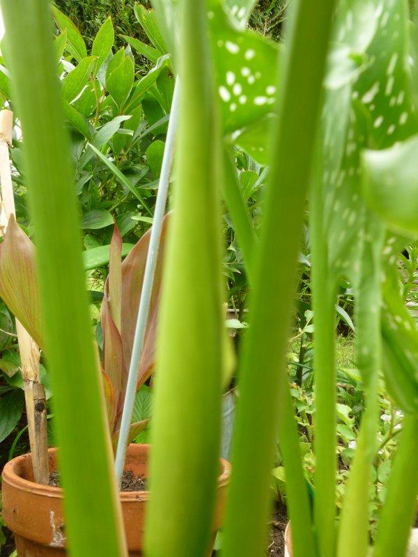 en avril j'ai planter dans un pot ''une patate d'arum ''  et voila      cela me semble une plante verte ???