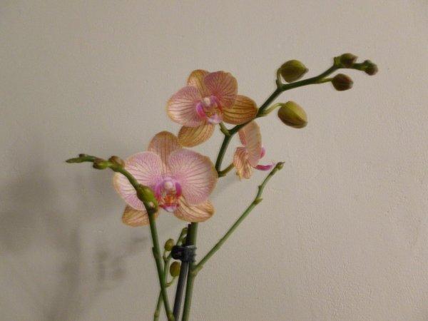 ORCHIDEE OFFERTE