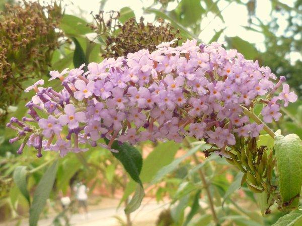 de quelle nom se nomme cette fleur merci ! vue dans un parc d'attractions
