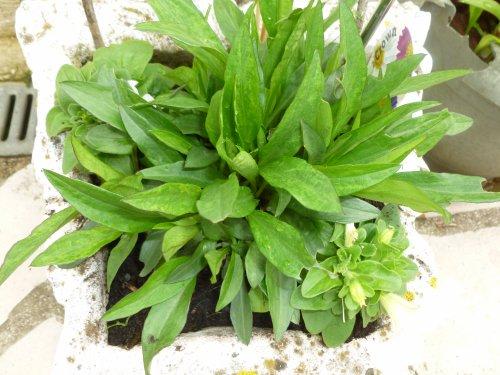 je me souviens plus   le nom de '''cette plante vivace''' ??