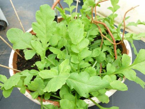 mes semis de campanules ????? a fleurs double